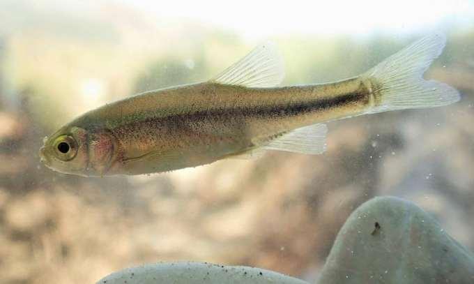 peshku i vjoses